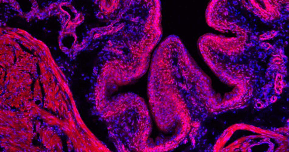 mouse bladder